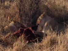 Lioness and cub eating a kill