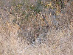 The leopard cub is hiding