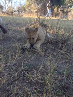 7.17.14 Zambia_lion encounter (48)